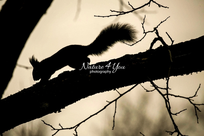Eurasian red squirrel at sunset running over a tree branch in Bavaria