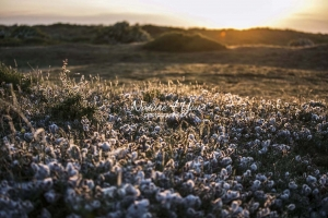 Sunset: Sun glitter over flowers at the dunes in Normandy